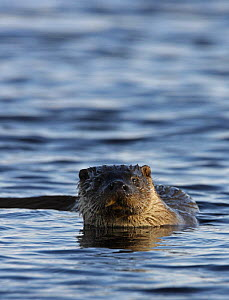 European river otter {Lutra lutra} male in water, Shetland Islands, Scotland, UK  -  Ian McCarthy