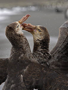 Two Giant petrels {Macronectes giganteus} fighting, South Georgia  -  Ian McCarthy