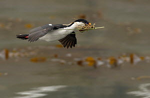 Blue eyed cormorant / Imperial shag {Phalacrocorax atriceps} in flight with nesting material, South Georgia  -  Ian McCarthy