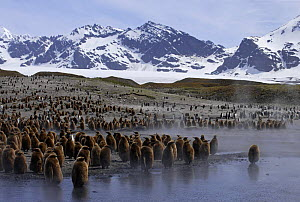 King penguins {Atenodytes patagonicus} young chicks waiting in creche, St Andrews Bay, South Georgia  -  Ian McCarthy