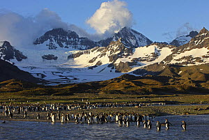 King penguin {Atenodytes patagonicus} adults entering and leaving the sea, St Andrews Bay, South Georgia  -  Ian McCarthy