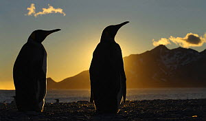 Silhouette of two King penguins {Atenodytes patagonicus} at dawn, South Georgia  -  Ian McCarthy