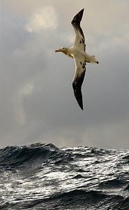 Wandering albatross {Diomedea exulans} flying over open ocean, South Atlantic - Ian McCarthy