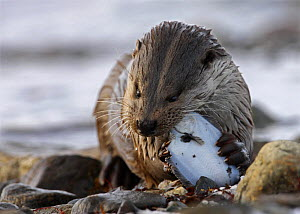European river otter {Lutra lutra} female feeding on flatfish, Shetland, Scotland, UK  -  Ian McCarthy