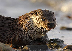 European river otter {Lutra lutra} female, Shetland, Scotland, UK  -  Ian McCarthy