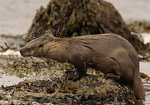 European river otter {Lutra lutra} emerging from sea and shaking, Shetland, Scotland, UK  -  Ian McCarthy