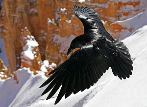 Common raven {Corvus corax} landing on snow, Bryce Canyon NP, Utah, USA  -  Ian McCarthy