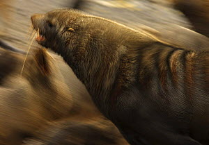 Antarctic fur seal {Arctocephalus gazella} moving fast through a colony, South Georgia  -  Ian McCarthy