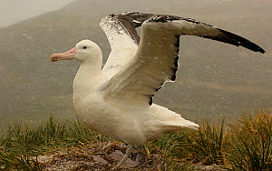 Wandering albatross {Diomedea exulans} stretching wings at nest site in a snow flurry, South Georgia  -  Ian McCarthy