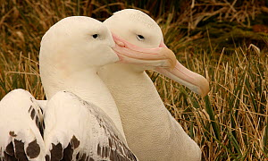 Wandering albatross {Diomedea exulans} pair at nest site, South Georgia  -  Ian McCarthy