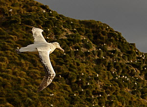 Wandering albatross {Diomedea exulans} in flight over breeding colony, South Georgia  -  Ian McCarthy