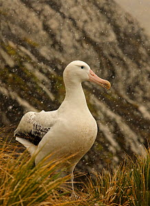Wandering albatross {Diomedea exulans} in a snow flurry, South Georgia  -  Ian McCarthy