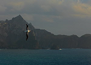 Wandering albatross {Diomedea exulans} in flight with the mountains of South Georgia in the background  -  Ian McCarthy