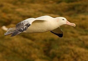 Wandering albatross {Diomedea exulans} in flight, South Georgia  -  Ian McCarthy