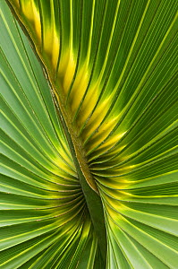 Detail of leaf of Cabbage Palmetto (Sabal palmetto) Sanibel Island, Florida, USA  -  Rob Tilley