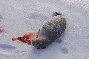 Ringed seal (Phoca hispida) caught by Inupiaq subsistence hunters out on the pack ice, outside the Arctic village of Point Hope, Chukchi Sea, Alaska, April 2008 - Steven Kazlowski
