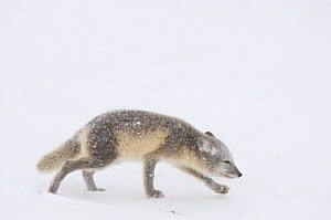 Young Arctic fox (Vulpes / Alopex lagopus) its coat turning from summer brown to winter white, walking along the Arctic coast in search of food, 1002 area of the Arctic National Wildlife Refuge, Alask... - Steven Kazlowski