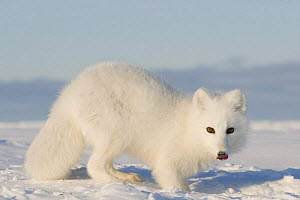 Arctic fox (Vulpes / Alopex lagopus) adult scavenges for food under the snow, 1002 area of the Arctic National Wildlife Refuge, Arctic coast, Alaska, October 2008 - Steven Kazlowski