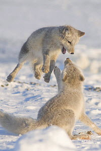 Two Arctic foxwa (Vulpes / Alopex lagopus) play on pack ice off the Arctic coast, 1002 area of the Arctic National Wildlife Refuge, Alaska, October 2008 - Steven Kazlowski
