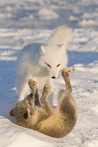 Pair of Arctic foxes (Vulpes / Alopex lagopus) one adult in its winter coat and one pup in its summer coat, play vigorously on the pack ice, 1002 area of the Arctic National Wildlife Refuge, Alaska, O... - Steven Kazlowski