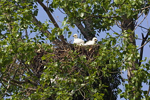 Two Eastern imperial eagle (Aquila heliaca) chicks in the nest, East Slovakia, Europe, June 2008  -  Wild Wonders of Europe / Wothe