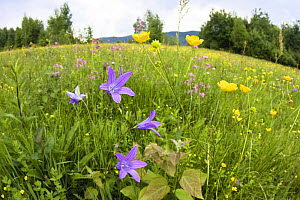 Flowering meadow with Spreading bellflower (Campanula patula) and Buttercup (Ranunculus sp) Poloniny National Park, East Slovakia, Europe, June 2008  -  Wild Wonders of Europe / Wothe