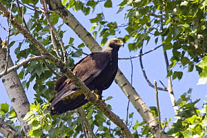 Eastern imperial eagle (Aquila heliaca) perched on branch, East Slovakia, Europe, June 2008  -  Wild Wonders of Europe / Wothe