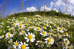 Meadow with flowering Corn camomile (Anthemis arvensis) East Slovakia, Europe, June 2008 - Wild Wonders of Europe / Wothe