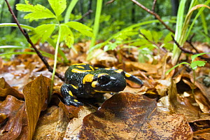 European / Fire salamander (Salamandra salamandra) Male Morske Oko Reserve, Slovakia, Europe, June 2008 - Wild Wonders of Europe / Wothe
