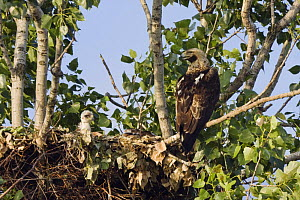 Eastern imperial eagle (Aquila heliaca) at nest with young, East Slovakia, Europe, June 2008  -  Wild Wonders of Europe / Wothe