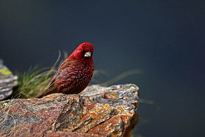 Old male Great rosefinch (Carpodacus rubicilla) on rock, Mount Cheget, Caucasus, Russia, June 2008  -  Wild Wonders of Europe / Schandy