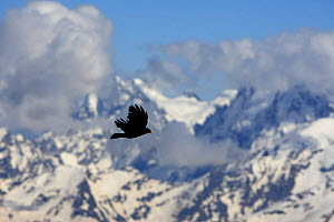Apline / Yellow-billed chough (Pyrrhocorax graculus) in flight, Mount Elbrus, Caucasus, Russia, June 2008  -  Wild Wonders of Europe / Schandy