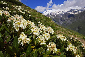 Caucasian rhododendron (Rhododendron caucasium) flowers with Mount Elbrus in the distance, Caucasus, Russia, June 2008  -  Wild Wonders of Europe / Schandy