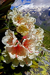 Caucasian rhododendron (Rhododendron caucasium) with Mount Elbrus in the distance, Caucasus, Russia, June 2008  -  Wild Wonders of Europe / Schandy