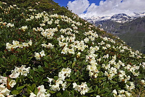 Caucasian rhododendron (Rhododendron caucasium) flowers with Mount Elbrus in the distance, Caucasus, Russia, June 2008 (Exclusive Japanese calendar rights for 2014)  -  Wild Wonders of Europe / Schandy