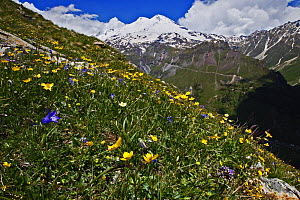 Alpine meadow with flowers, Mount Elbrus in the distance, Caucasus, Russia, June 2008  -  Wild Wonders of Europe / Schandy