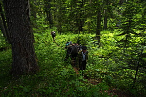 People walking with horses through an old Nordmann fir (Abies nordmanniana) forest, Arkhyz valley, western part of the Teberdinsky Biosphere reserve, Caucasus, Russia, July 2008 (Model released) - Wild Wonders of Europe / Schandy