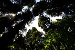 Looking up at canopy of old Nordmann fir (Abies nordmanniana) trees, Arkhyz valley, western part of the Teberdinsky Biosphere reserve, Caucasus, Russia, July 2008 - Wild Wonders of Europe / Schandy
