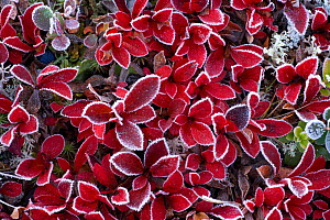 RF- Mountain bearberry (Arctous alpinus) covered in frost, Sarek National Park, Laponia World Heritage Site, Lapland, Sweden. September. (This image may be licensed either as rights managed or royalty... - Wild  Wonders of Europe / Cairns