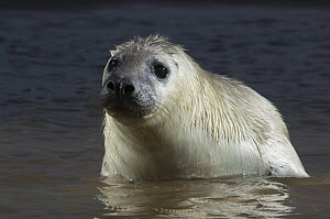 Grey seal (Halichoerus grypus) pup in shallow water, Donna Nook, Lincolnshire, UK, November 2008  -  Wild Wonders of Europe / Geslin