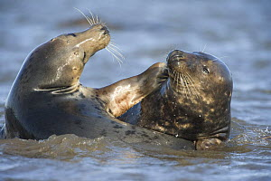 Grey seal (Halichoerus grypus) mating behaviour in shallow water, Donna Nook, Lincolnshire, UK, November 2008  -  Wild Wonders of Europe / Geslin