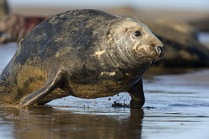 Grey seal (Halichoerus grypus) moving up beach using flippers, Donna Nook, Lincolnshire, UK, November 2008 - Wild Wonders of Europe / Geslin