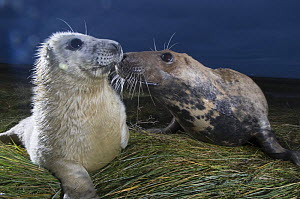 Grey seal (Halichoerus grypus) with pup at breeding site in dunes, Donna Nook, Lincolnshire, UK, November 2008  -  Wild Wonders of Europe / Geslin