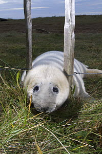 Grey seal (Halichoerus grypus) pup trying to get through fence, breeding site, Donna Nook, Lincolnshire, UK, November 2008 - Wild Wonders of Europe / Geslin