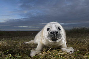 Grey seal (Halichoerus grypus) pup, portrait, Donna Nook, Lincolnshire, UK, November 2008  -  Wild Wonders of Europe / Geslin