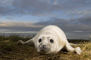 Grey seal (Halichoerus grypus) pup, Donna Nook, Lincolnshire, UK, November 2008  -  Wild Wonders of Europe / Geslin