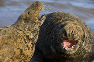 Grey seal (Halichoerus grypus) pair calling, Donna Nook, Lincolnshire, UK, November 2008 Wild Wonders kids book. - Wild Wonders of Europe / Geslin