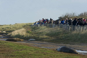 People watching Grey seals (Halichoerus grypus) at breeding site in dunes, Donna Nook, Lincolnshire, UK, November 2008  -  Wild Wonders of Europe / Geslin