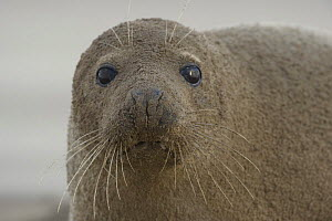 Grey seal (Halichoerus grypus) covered in sand, Donna Nook, Lincolnshire, UK, November 2008  -  Wild Wonders of Europe / Geslin