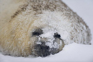 Grey seal (Halichoerus grypus) pup in snow, Donna Nook, Lincolnshire, UK, November 2008  -  Wild Wonders of Europe / Geslin